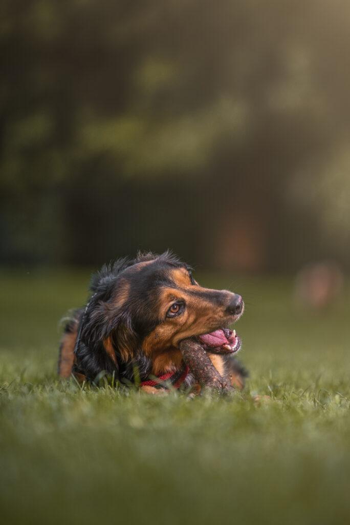 fotografo cani milano cane gioca felice con bastoncino in bocca nel prato