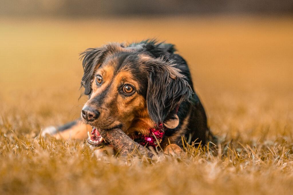 cane gioca con un legnetto sul prato