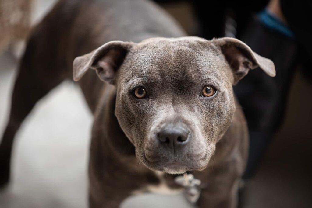 ritratto omnia staffy fotografo cani monza milano
