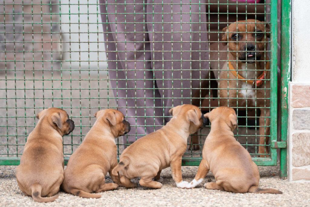 fotografo cani monza allevamento staffordshire bull terrier special guest staffy