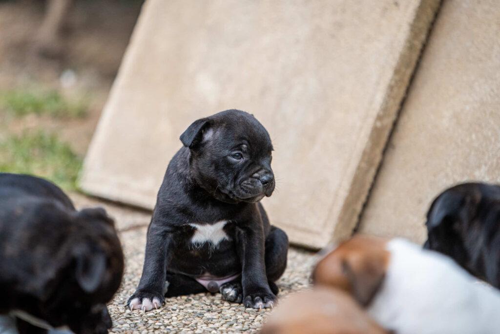 allevamento staffordshire bull terrier fotografo cani milano monza